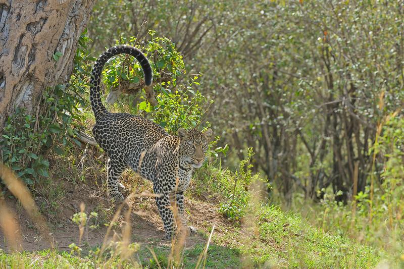 African Leopard (Panthera pardus pardus) marking a tree in Masai Mara in Kenya, Africa