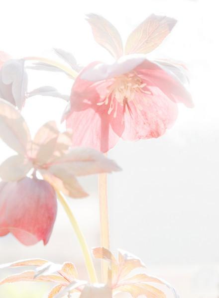 swanson_nursery_300_02537_hi_contrast_lenten_rose-sm.jpg