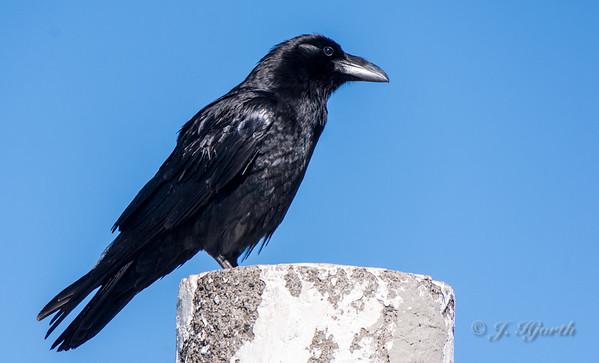 Ravn - Common raven - (Corvus corax)