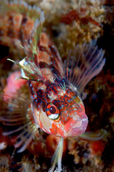 Kevin Lee Island Kelpfish Arrow Point, Catalina April 28th D200, 60mm lens, dual Ys-110's