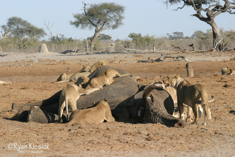 Lions consume a recently killed African elephant