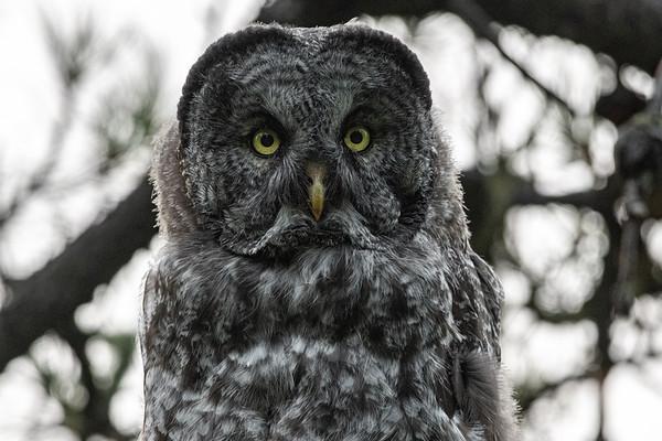 7-27-21 Great Gray Owlet - Schott's Lake
