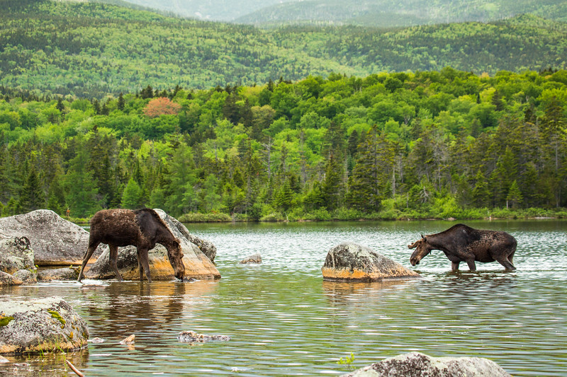Female moose and young male moose (Alces alces),  Baxter state park, Maine, USA.