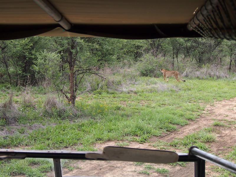 P3271055-cheetah-from-car.JPG