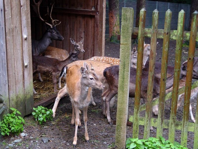 2005-09-12_06283 die Rehe sind leider umsonst raus in den Regen gekommen - ich hatte nichts zu essen bei mir the deer came out into the rain for nothing - I had nothing to eat with me