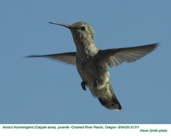 Anna's Hummingbird J31311.jpg