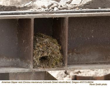 American Dipper Nest 66234.jpg