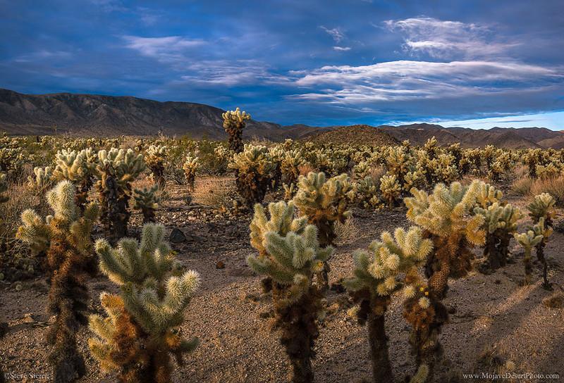 Sunlit cholla cactus garden at sunrise in Joshua Tree National Park.