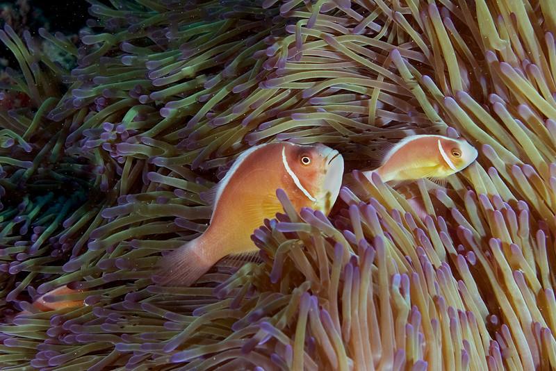 Pink Anenome Fish 4.jpg