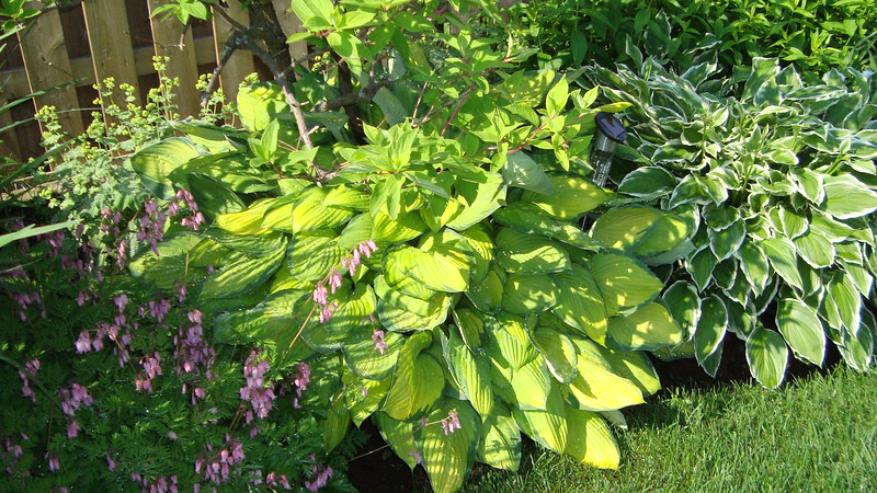 Hostas and Bleeding Hearts.JPG