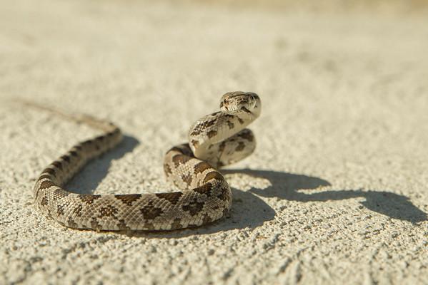 Baby Gopher Snake