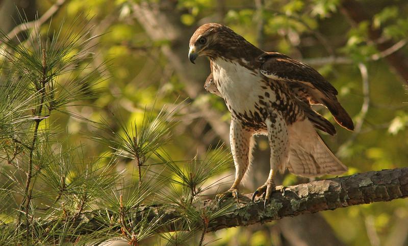 Harris' Hawk, Royal Pines Golf Course, Beaufort, South Carolina