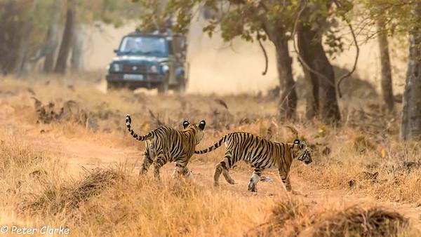India - Tadoba and Nagzira National Parks
