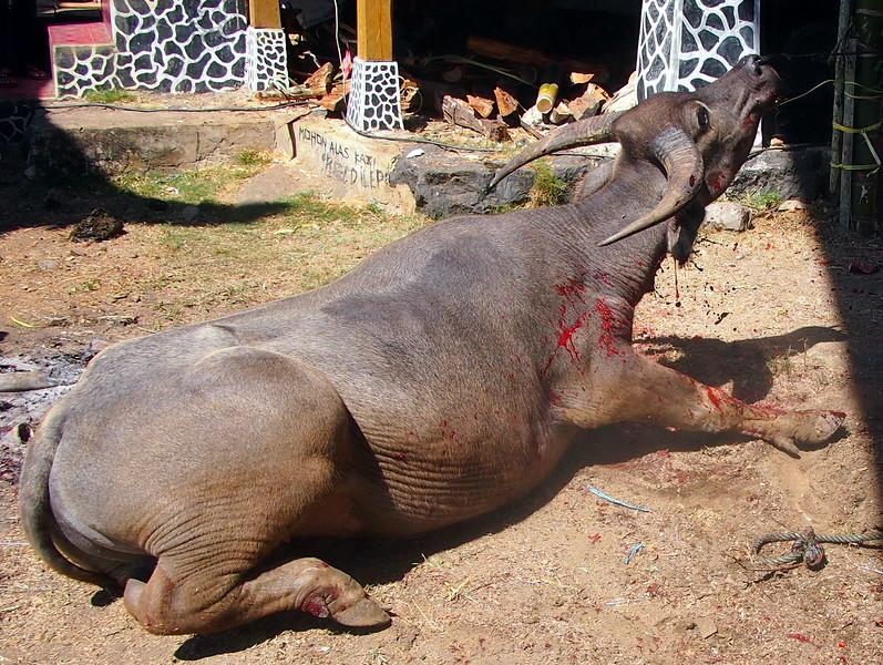 P9048719-bleeding-buffalo.JPG