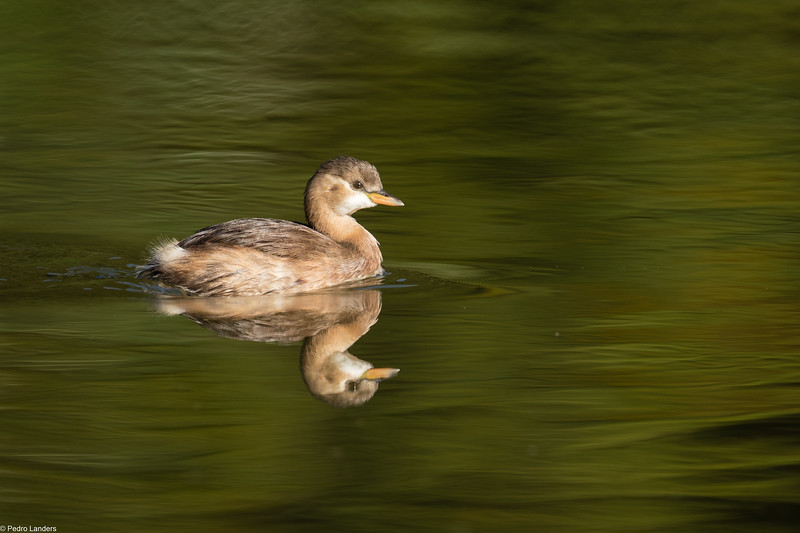 Little Grebe 2