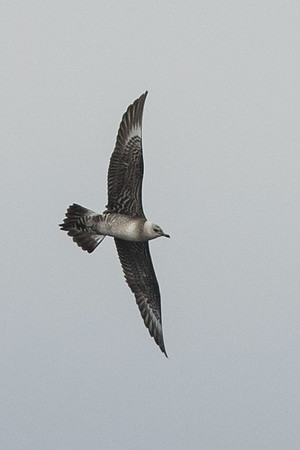 Long-tailed Jaegers