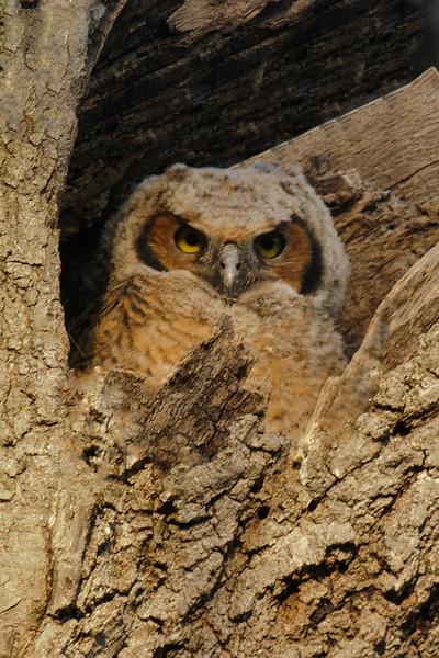 Owl - Great Horned - juvenile - Silverwood Park - New Brighton, MN - 04
