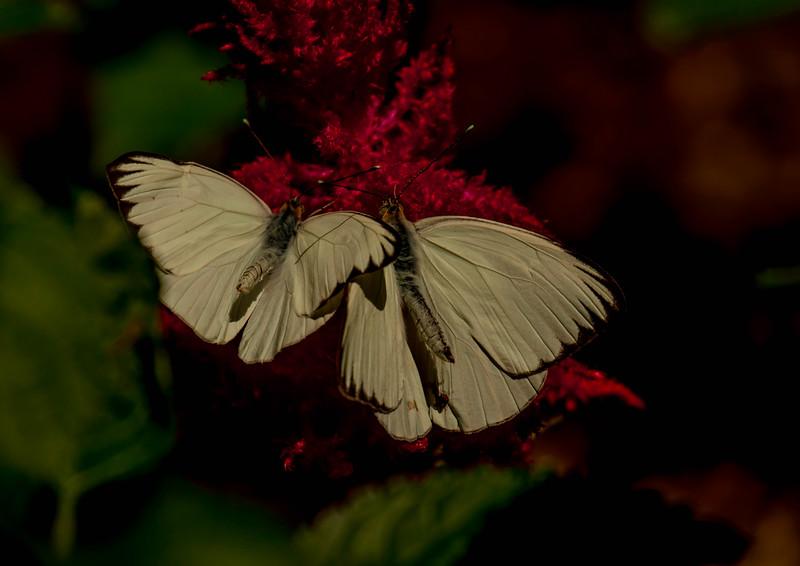 Great Southern Whites (Ascia Monuste)