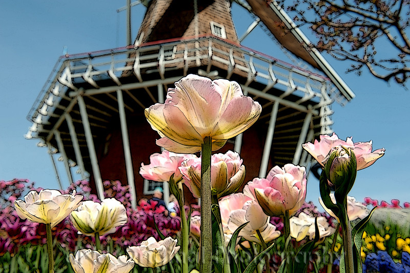 013c It's Tulip Time In Holland Every Year In May 2009 - Tulips With DeZwaan Windmill (posteredges).jpg