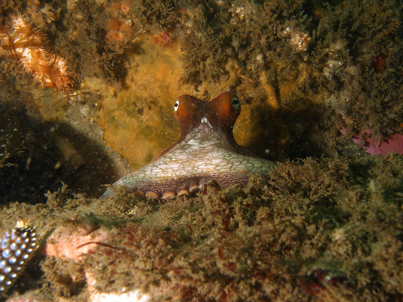 Two-spot Octopus being curious on Mohawk reef CA