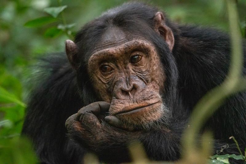 Uganda_T_Chimps-1739.jpg