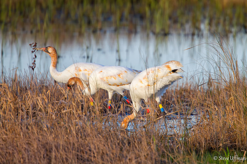 20120207-_MG_2626Whooping_Cranes_White_Lake-Edit.jpg