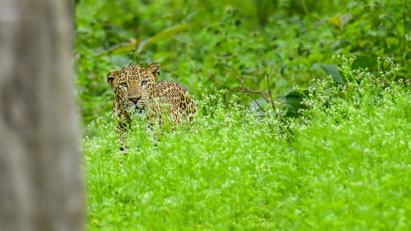 Leopard-Kabini.jpg