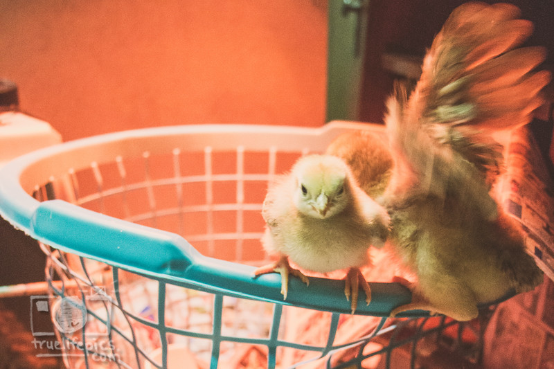 March 27, 2017 Chickens in the shop (8).jpg