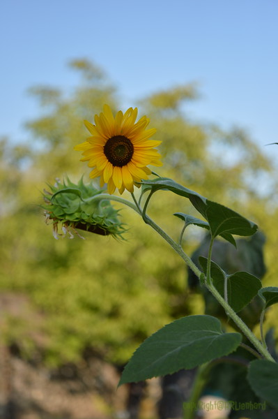 Sunflower Lonay_20092020 (4).JPG
