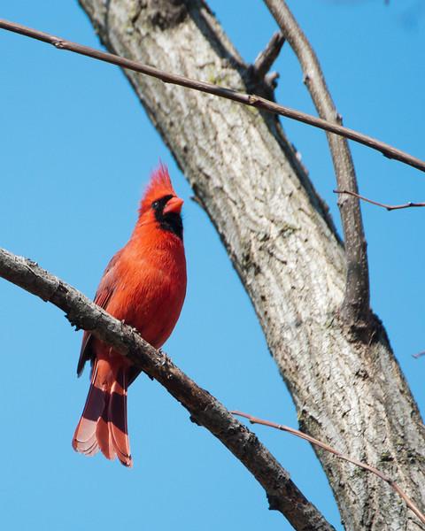 Cardinal (m) - D1267