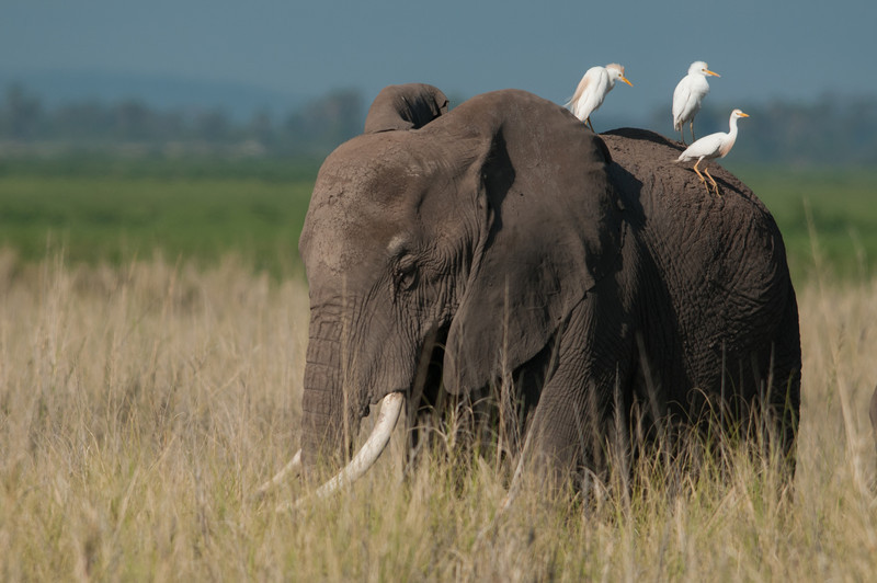 Elephant with Egrets. Amboseli, Kenya.