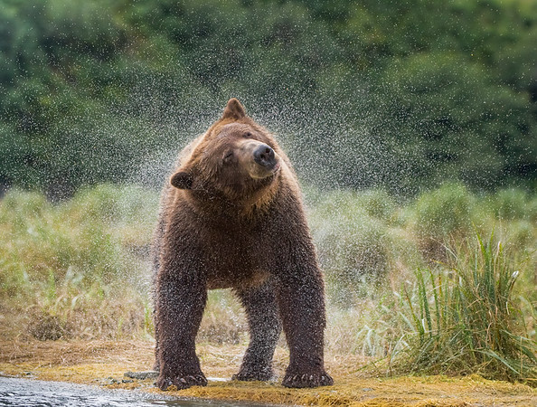 brown bears of katmai