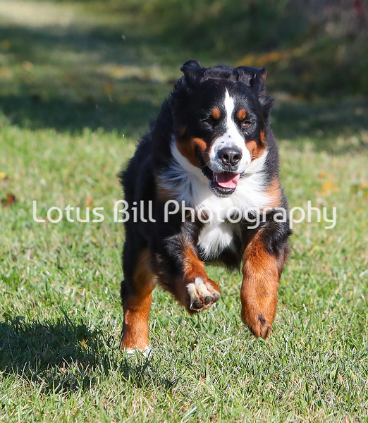 Mera Bernese Mountain Dog SR31