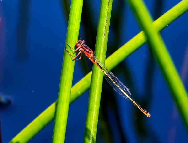 Scarlet Bluet (Enallagma pictum), male;  Chatsworth Lake, NJ