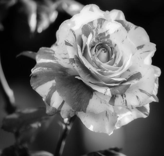 Balboa Rose Garden Candy Stripe-9-2.jpg