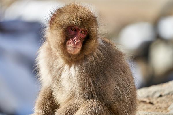 Snow Monkey Babies Japan 2019