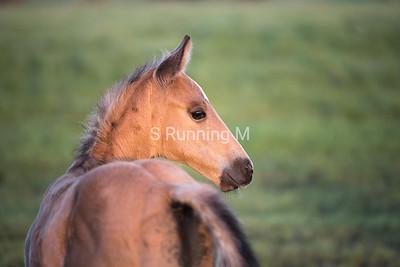 H Open 6 Quarter Horses
