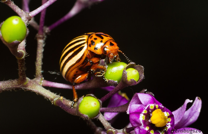 Colorado Potato Beetle, Leptinotarsa decemlineata, from Roseville, Minnesota.