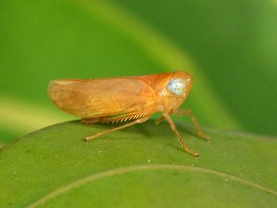 subfamily Coelidiinae