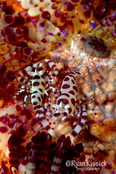 Coleman Shrimp Criss Cross