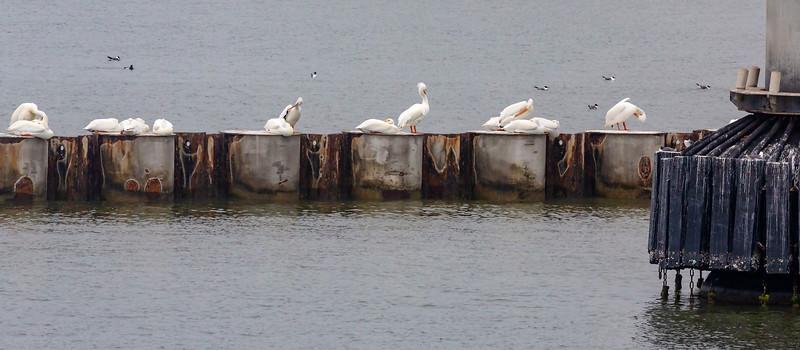 15 or so White Pelicans resting on the Bolivar breakwater