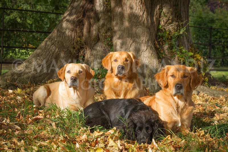 CASTLEMANS  GUNDOGS