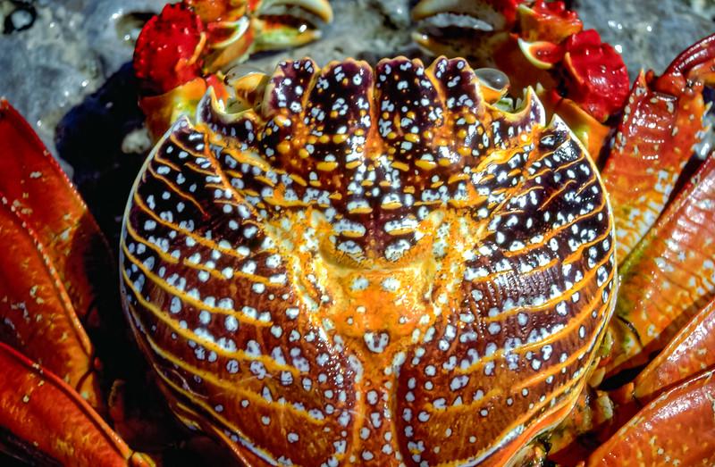 Sally Lightfoot Crab, Baja California Sur, Mexico