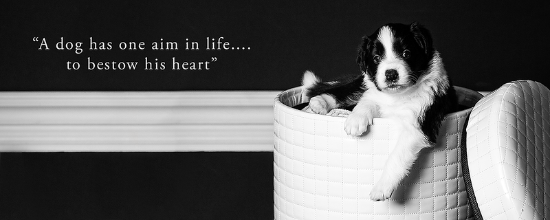 border collie banner 2.png