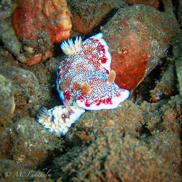 Nudibranch (Chromodoris reticulata)
