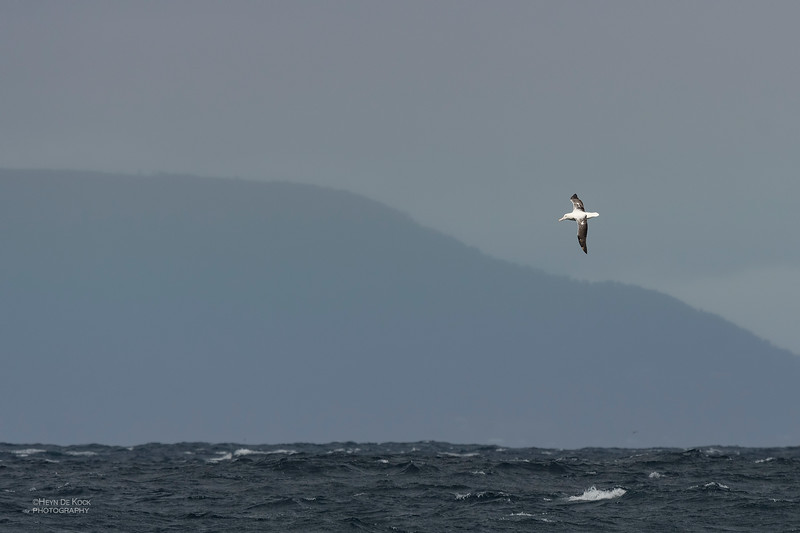 Southern Royal Albatross, Eaglehawk Neck Pelagic, TAS, Dec 2019-3.jpg