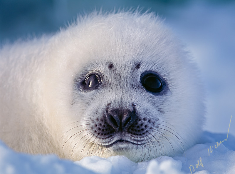 Wild harp seal pup (saddleback seal, Pagophilus groenlandicus) on the ice of the Atlantic Ocean off the Labrador coast in Canada.