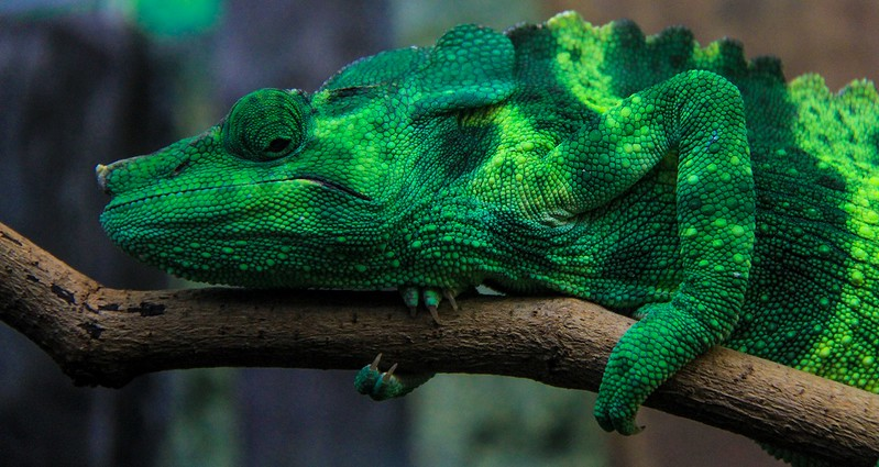 Panther Chameleon. They live in Madagascar and are in population decline.