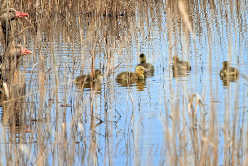 Fuzzy Goslings