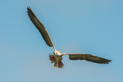 Red-footed booby, Genovesa Island, Galapagos